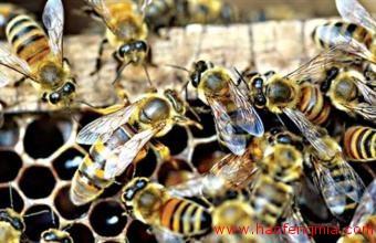熟悉蜜蜂生长的特点和蜜蜂的四个发育阶段及特点