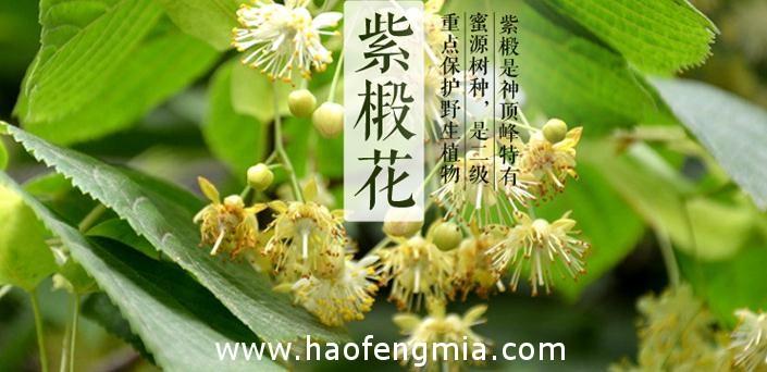 我国主要蜜源植物椴树分布及开花期常识知识