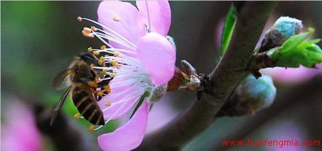 中国蜜蜂授粉知识介绍