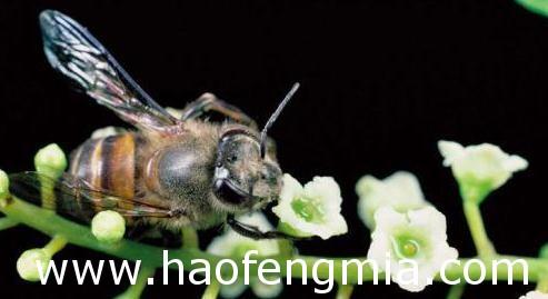 蜜蜂良种选育技术