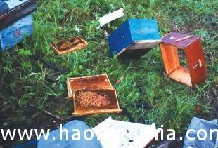 伊春市深山养蜂场黑熊偷蜂蜜