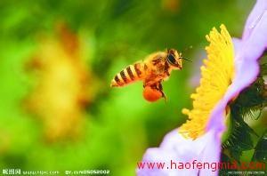 我国选育的高产蜂种介绍