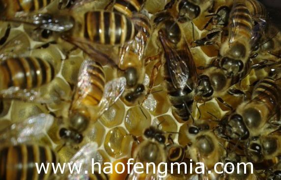 蜂王剪翅对蜂王飞逃的实际意义和效果分析