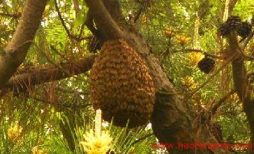 蜜蜂蜂群自然分蜂