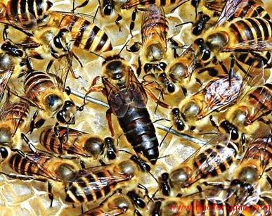 怎样培育蜂王