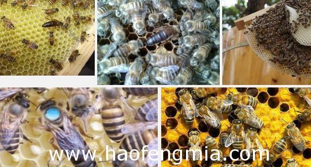 中蜂蜂王培养方法介绍