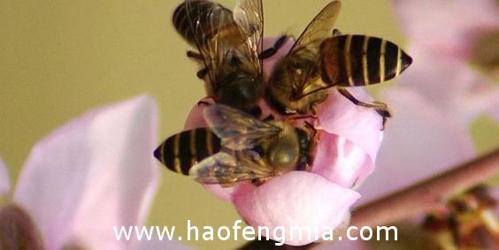 亚洲蜜蜂种类:苏拉威西蜂介绍