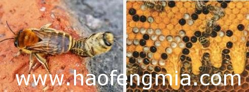 蜂王交尾后要几天才能产卵?
