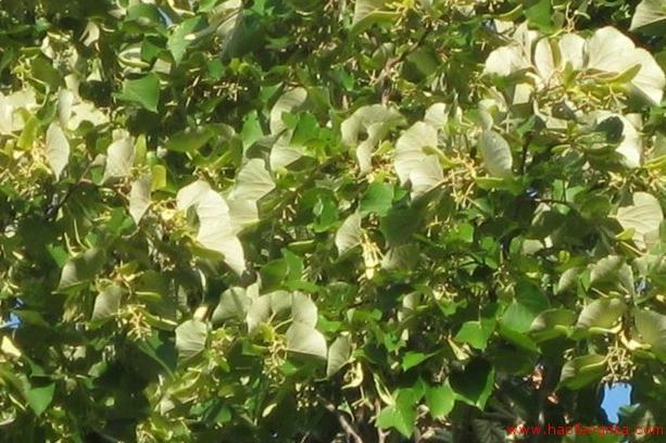 黑龙江养蜂业之主要蜜源植物介绍
