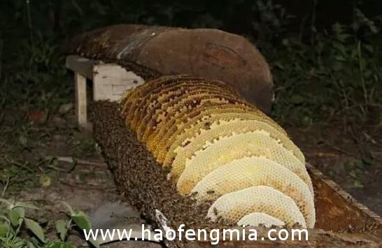 凤县唐藏镇棒棒桶蜂蜜品质高  价格上千元