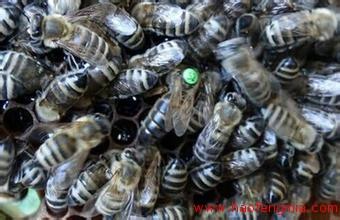 东北黑蜂如何饲养?东北黑蜂介绍