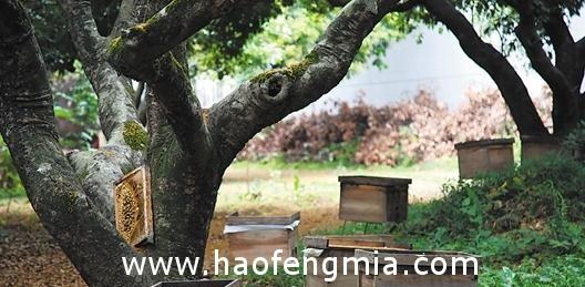 东莞荔枝蜂蜜产量比往年多三成
