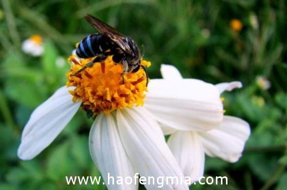 亚洲蜜蜂种类:大蜜蜂介绍