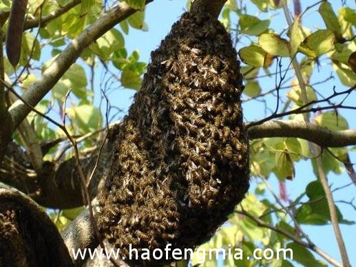 诱捕野生中蜂的时间和地点
