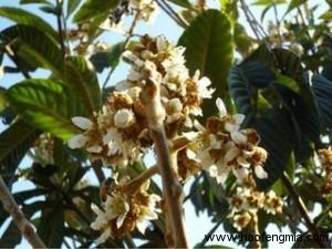 中国蜜源分布之枇杷蜜