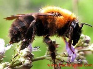 蜜蜂源于亚洲