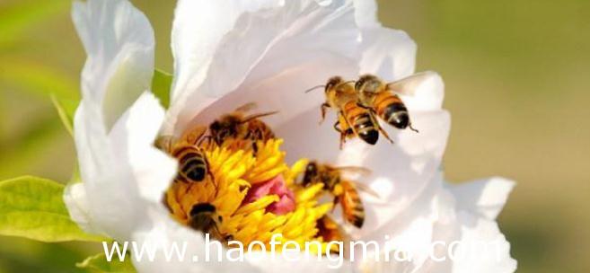 授粉专用蜜蜂的培育技术