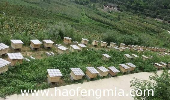 福建养蜂业之主要蜂种介绍