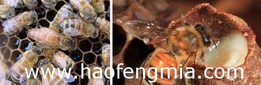 蜜蜂大卵育王技术