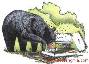 黑熊偷吃蜂蜜 蜂农损失不小