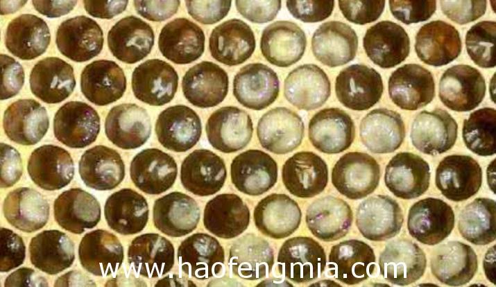 如何遏止工蜂产卵?