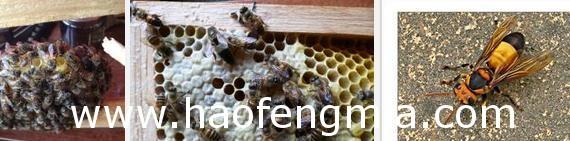 蜜蜂良种蜂王是怎样配来的