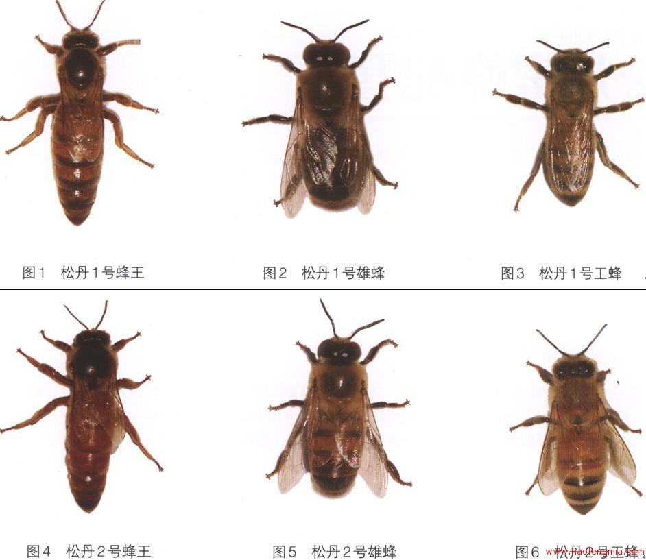 松丹蜜蜂配套系