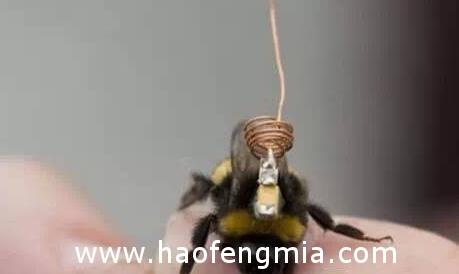 蜜蜂追踪器:小蜜蜂身背RFID追踪器