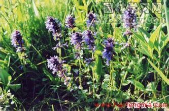 新疆养蜂业之新疆蜜源植物介绍