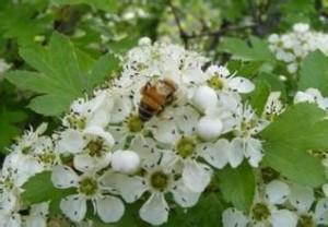 洋槐蜜的作用与功效 白洋槐蜂蜜的功效