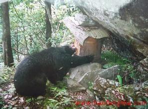 江西村民遭熊袭击 5月份江西曾拍到黑熊偷吃蜂蜜