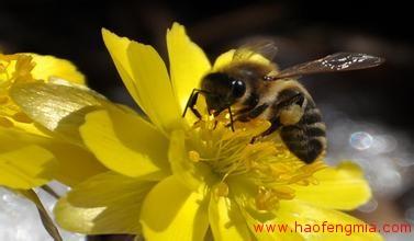 东北黑蜂蜂种介绍