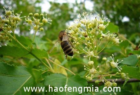 蜜蜂流蜜期是什么时候?