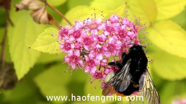 亚洲蜜蜂种类:黑大蜜蜂介绍