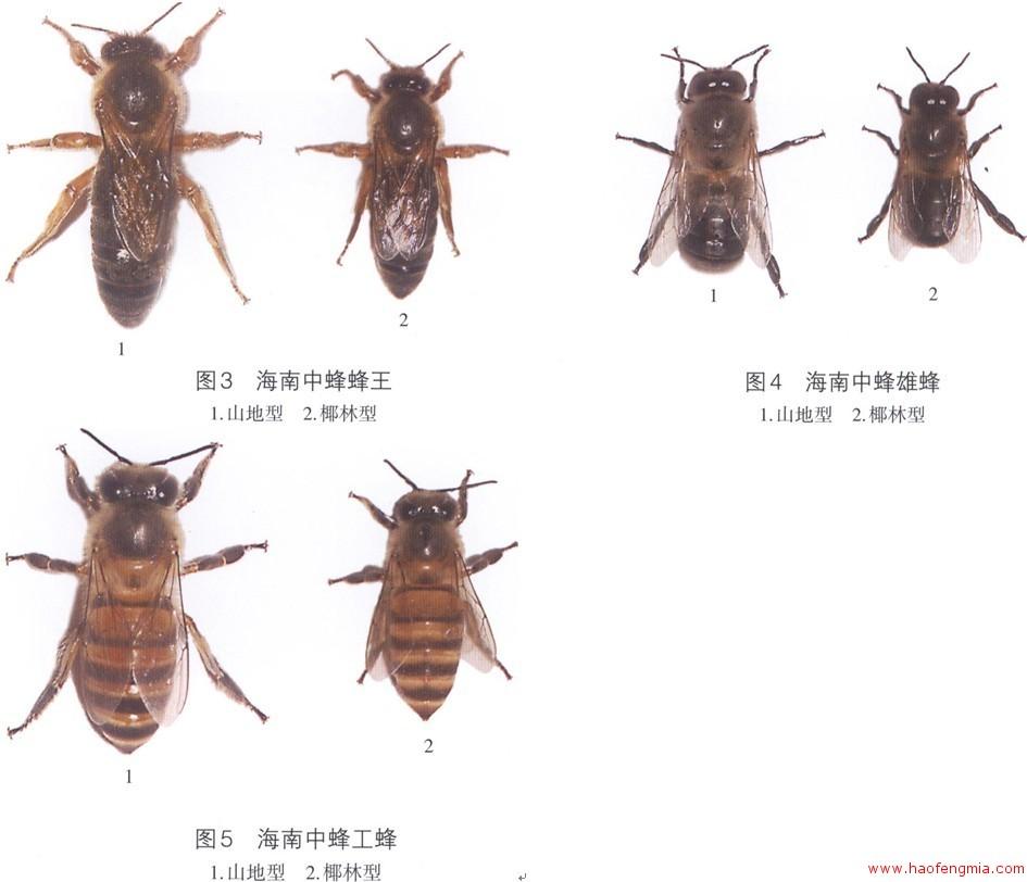 蜂蜜品种之海南中蜂