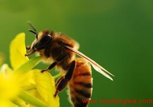 什么是工蜂?工蜂是干什么的?