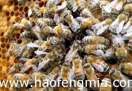 蜂王怎么老是被围?蜂王被围的情况介绍