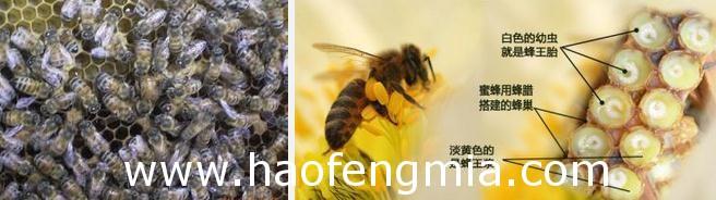 怎样识别幼蜂王?
