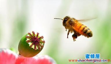 什么是卡尼鄂拉蜂?卡尼鄂拉蜂知识介绍