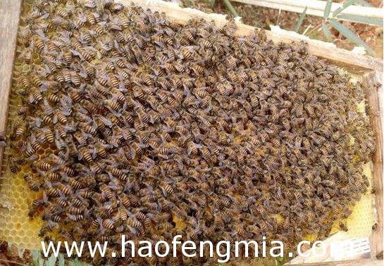 蜜蜂春繁新方法介绍