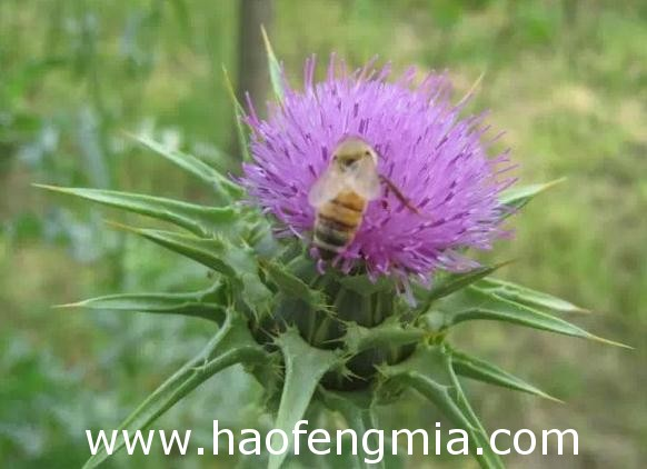 水飞蓟蜂蜜的作用与用途,水飞蓟蜂蜜是什么花蜜