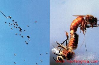 处女王和雄蜂交配
