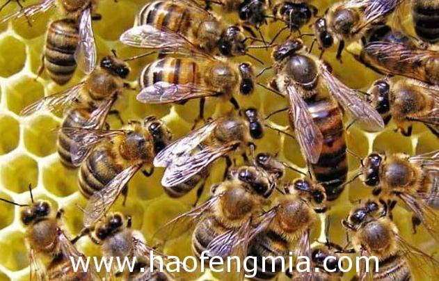蜜蜂关王管理技巧