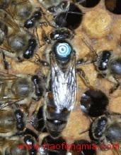 蜜蜂品种之松丹1号双交种蜜蜂 松丹1号双交种蜜蜂繁殖力强