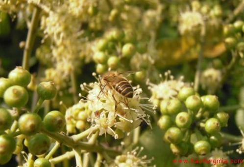 国家食药监总局蜂蜜抽检:深圳沃尔玛鸭脚木蜂蜜氯霉素值超标
