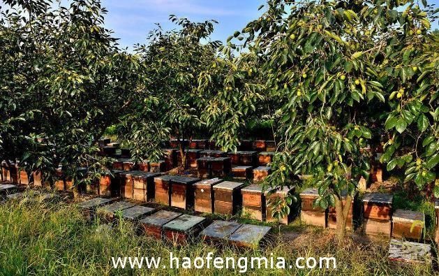 广州花都区蜜蜂大范围死亡蜂蜜产量将下降