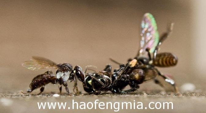 无刺蜂的种类及分布情况介绍
