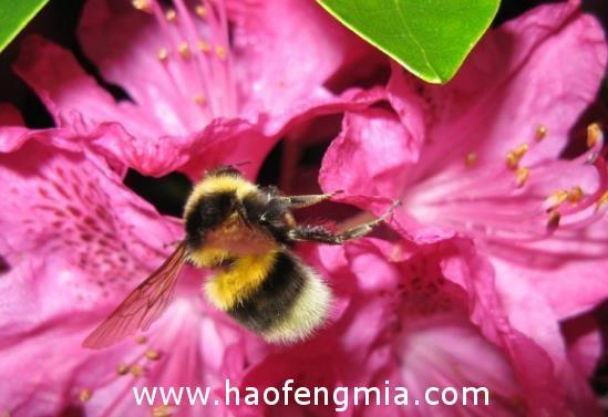 杜鹃花蜂蜜介绍
