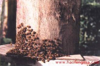 蜜蜂品种之卡赫斯坦蜂 卡赫斯坦蜜蜂新蜜蜂品种