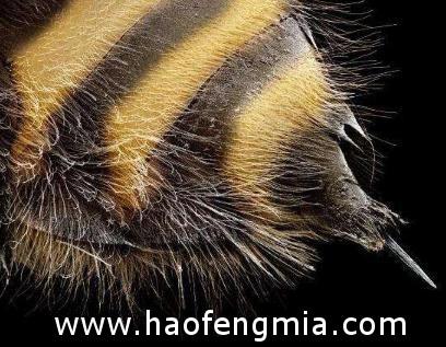 蜂毒的主要成分与功能介绍